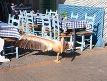 Härliga rosa pelikanställningar på ett ben, med den fördjupade vingen Royaltyfri Foto