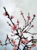 Härliga rosa persikablommor royaltyfri bild