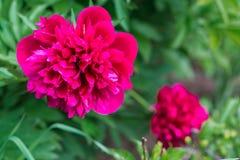 Härliga rosa pioner på grön bakgrund Royaltyfri Foto