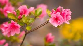 Härliga rosa rhododendronblommor Arkivfoto