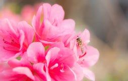 Härliga rosa rhododendronblommor Fotografering för Bildbyråer