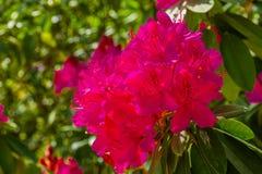 Härliga rosa rhododendronblommor i makrocloseupen, kultiverad blomma buske, populär dekorativ växt för trädgården, natur royaltyfri fotografi