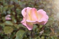härliga rosa ro Arkivfoto