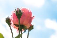 härliga rosa ro royaltyfria bilder