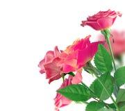 Härliga rosa Rose Border över vit arkivfoton