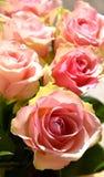 Härliga rosa rosor Royaltyfria Foton