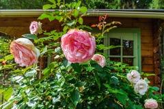 Härliga rosa rosor i trädgården royaltyfri bild