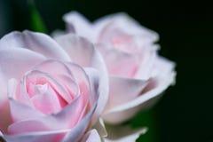 Härliga rosa rosor på en mjuk bakgrund med grunt djup av fältet och fokuserar mitten av rosblomman Royaltyfri Fotografi