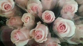 Härliga rosa sammetrosor Arkivfoto
