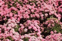 Härliga rosa små blommor mot gröna blad royaltyfri bild