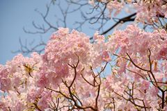 Härliga rosa trumpetblommor Fotografering för Bildbyråer