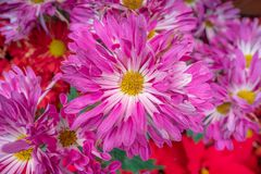 Härliga rosa tusenskönablommor för bakgrund royaltyfri bild