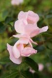 Härliga rosa vildblommadogroses Royaltyfri Bild
