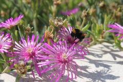Härliga rosa vildblommor och humla arkivbilder