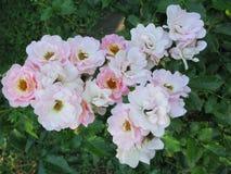 Härliga rosor med delikata krämiga rosa kronblad En angenäm arom och berlock av dina favorit- färger royaltyfri bild