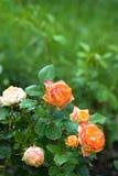 Härliga rosor på busken i sommarträdgård Royaltyfria Foton