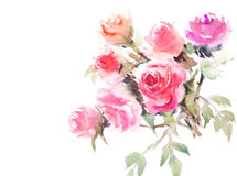 Härliga rosor, vattenfärgillustratör Arkivfoton