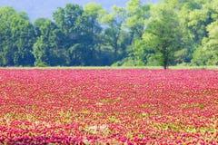 Härliga Rosy Clover Field arkivbilder