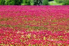 Härliga Rosy Clover Field royaltyfri foto