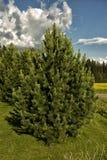 Härliga sörja-träd Arkivfoton