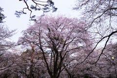 Härliga Sakura Cherry Blossoms i Tokyo, Japan arkivfoto