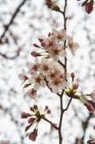 Härliga Sakura (den japanska körsbärsröda blomningen) arkivfoto
