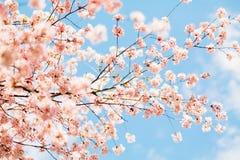 Härliga sakura eller körsbärsröd blomning med den mjuka fokusen blå sky för bakgrund Royaltyfri Foto