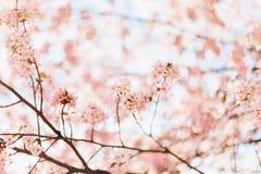 Härliga sakura eller körsbärsröd blomning med den mjuka fokusen blå sky för bakgrund Arkivfoto