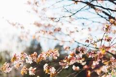 Härliga sakura eller körsbärsröd blomning med den mjuka fokusen på bakgrund för blå himmel Royaltyfria Bilder