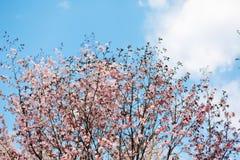 Härliga sakura eller körsbärsröd blomning med den mjuka fokusen på bakgrund för blå himmel Royaltyfria Foton