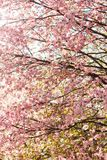 Härliga sakura eller körsbärsröd blomning med den mjuka fokusen på bakgrund för blå himmel Arkivbild