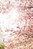 Härliga sakura eller körsbärsröd blomning med den mjuka fokusen på bakgrund för blå himmel Arkivfoto