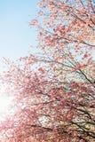 Härliga sakura eller körsbärsröd blomning med den mjuka fokusen på bakgrund för blå himmel Royaltyfri Bild