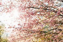 Härliga sakura eller körsbärsröd blomning med den mjuka fokusen på bakgrund för blå himmel Royaltyfri Foto