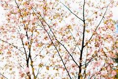Härliga sakura eller körsbärsröd blomning med den mjuka fokusen Vit bakgrund för molnig himmel Royaltyfri Foto