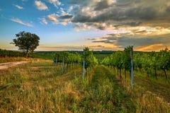 Härliga sceniska vingårdar på solnedgången royaltyfri fotografi
