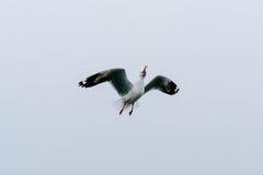 Härliga seagulls som flyger i himlen Arkivbild