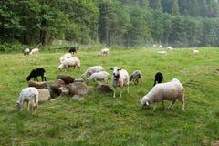 Härliga sheeps, ulllantgård H?stbygd Lamm på fält royaltyfri foto