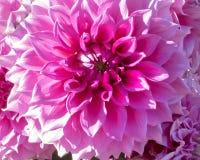 Härliga sidor av bakgrunderna dalia_11 Royaltyfri Fotografi