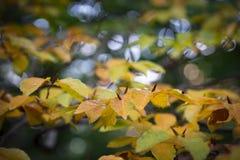 Härliga sidor för bokträdträd i höstskog arkivfoto