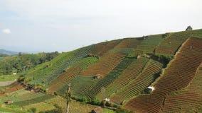 Härliga sikter av fältet som terrasserar lökkolonier arkivfoton