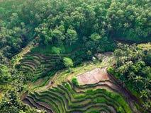 Härliga sikter av risterrasser på bakgrunden av djungeln royaltyfri fotografi