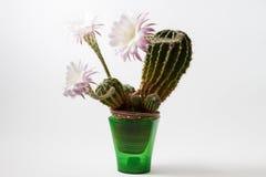 Härliga silkeslena rosa blomstra kaktusblommor Arkivfoto