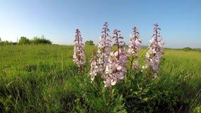 Härliga skyddade blommor i våren på den brinnande busken för fält stock video