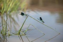 Härliga sländaCalopteryx splendens på ett grässtrå nära floden arkivfoto