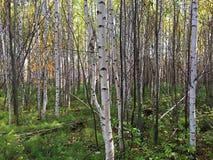Härliga släta björkar i skogen fotografering för bildbyråer