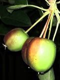 Härliga små äpplen p? natten fotografering för bildbyråer