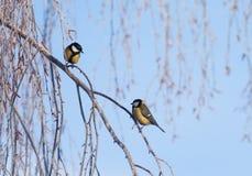 Härliga små fåglar av en mes sitter på filialer som täckas med fluffig vit frost i en vinter, parkerar arkivfoton
