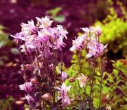 Härliga små rosa blommor på rabatten royaltyfri bild
