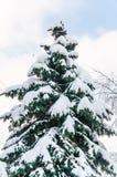 Härliga snö-täckte blåa granar fotografering för bildbyråer